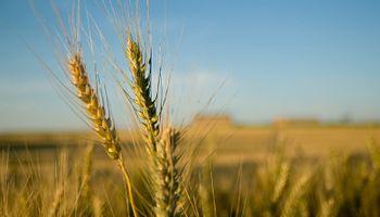 Más gramíneas equilibran los planteos agrícolas