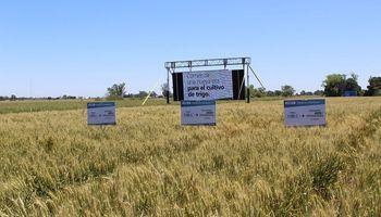Se aprobó en Argentina el primer trigo transgénico del mundo: el HB4 tolerante a sequía está autorizado a la espera de Brasil