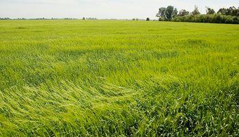 Qué variedades de trigo sembraron unos 40.000 productores