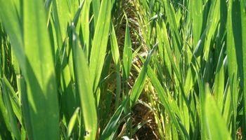 Un año de buenas condiciones para el trigo