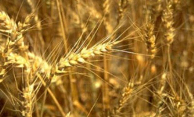 """Buscan un aporte """"a la recuperación del mercado del trigo, tanto en volumen como en calidad""""."""