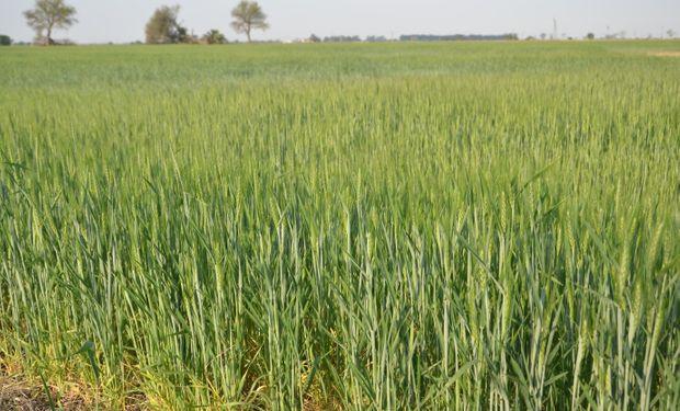 La cosecha de trigo será superior a los 8,8 millones de toneladas