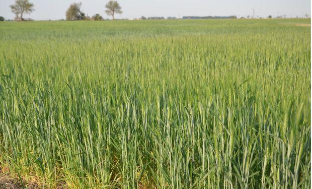 Informa Economics redujo proyecciones de cosecha de trigo y maíz de Argentina