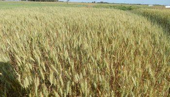 El trigo fue el mayor perjudicado de la rueda externa