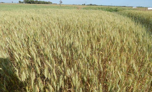 El cereal registró bajas de US$ 6 en promedio por la buena condición de los cultivos.