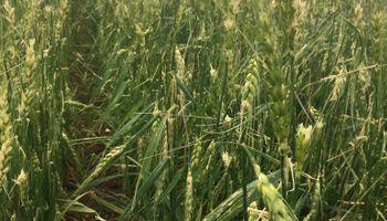 """Recorte para el trigo por la sequía y las heladas: """"El impacto en el rinde es dramático"""""""