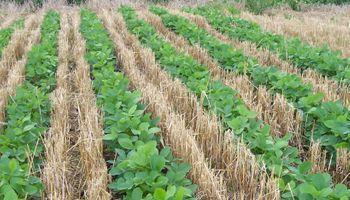 Intersiembra con soja y hasta cultivo de servicio con eventual cosecha: ¿Qué esperar del trigo en el norte argentino?