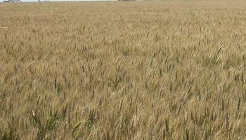Solicitan registrar una variedad de trigo pan con nuevas cualidades