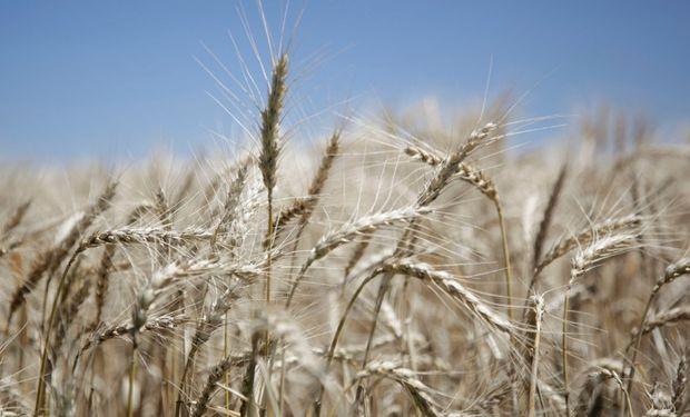 Primera venta a fututo de trigo pan por 100 mil toneladas.