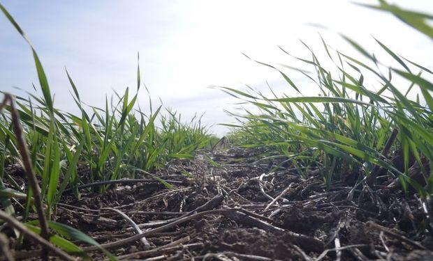 Advierten sobre pérdidas para el trigo