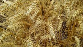 Subas para el trigo de la nueva campaña: pagaron hasta US$ 190 en Rosario