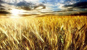 El olvidado trigo quiere hacerse ver