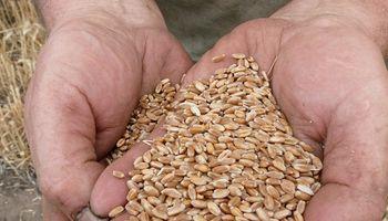 Trigo pan: identifican 9 cultivares que baten récords de rendimientos