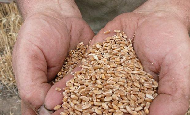 Un dato clave en un escenario auspicioso para la siembra del cereal que genera grandes expectativas entre los productores.