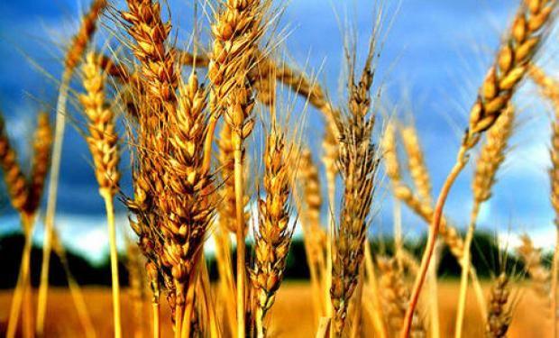 ¿Trigos más resistentes a la sequía?