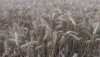 En Córdoba y Santa Fe, el rinde del trigo cae a la mitad contra el año pasado y algunos lotes ni se cosecharán