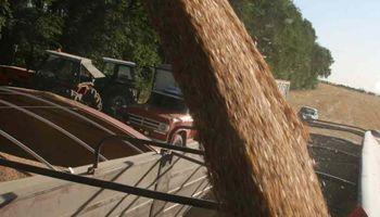 Rindes de trigo tuvieron un leve repunte en la región núcleo