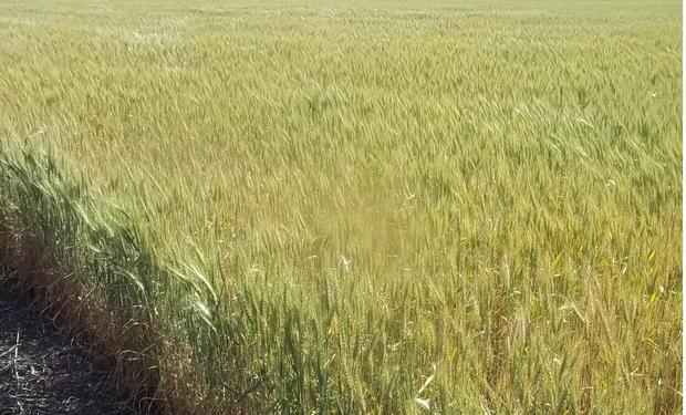Comenzó la cosecha de trigo con magros rendimientos