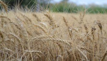 Trigo: se acerca el vencimiento para declarar el origen de la semilla