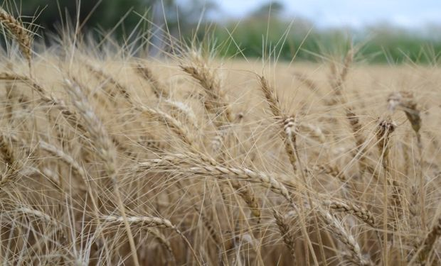 Se vence el plazo para la presentación de la DD.JJ. de trigo.