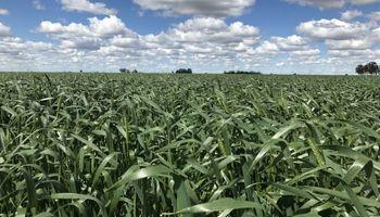 El clima para el trigo: situación actual de napas luego de las lluvias