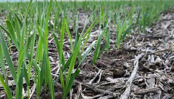 Se agrava el escenario de déficit hídrico para el trigo: más del 50% del área necesita lluvias