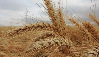 Trigo: las lluvias se concentran sobre las regiones que resta sembrar