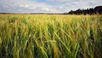 El trigo ganará algo más de superficie