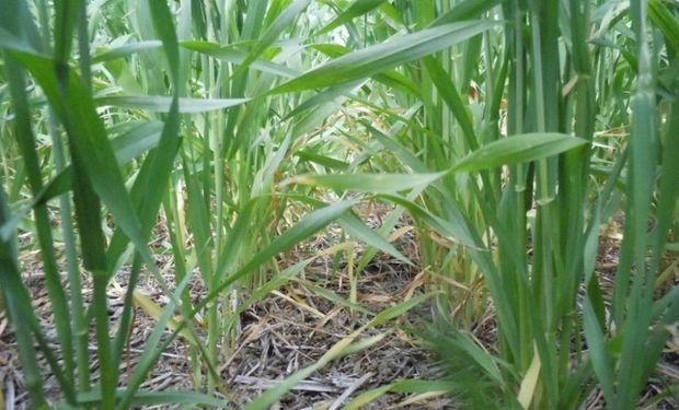 El año electoral mantiene expectantes a los productores de trigo, que deben definir su intención de siembra.