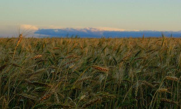 El trigo está aún muy lejos de su potencial