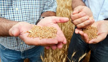 El temor a una caída en la oferta global dejó fuertes subas para el precio del trigo
