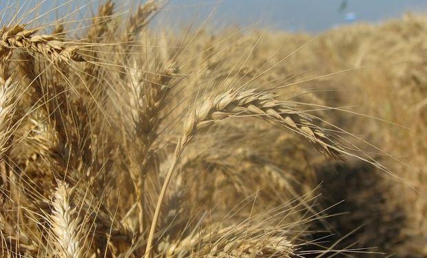 Subas del 1,57% para el trigo en Chicago.
