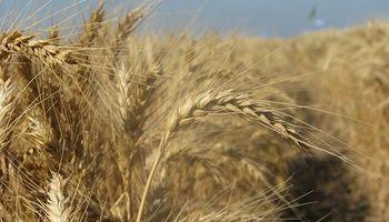 Trigo: analizan cómo impactó el clima en los rindes del cereal