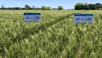 Avanza la hoja de ruta del trigo hb4: acuerdo en Mercosur sobre OGM
