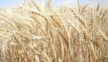 ¿Qué hacemos con el trigo? Potencial alcista podría no ser ilimitado