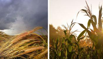 Menos trigo y más maíz