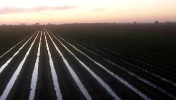 Trigo y maíz: víctimas del agua