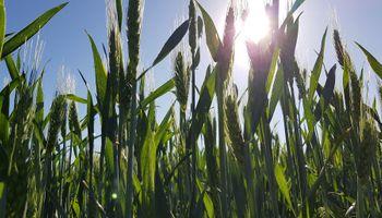 Fuerte suba del trigo en Chicago por recorte en la producción de Australia