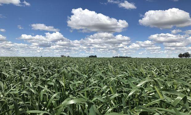 Zona núcleo: las reservas de humedad son escasas para el trigo