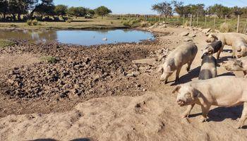 Por un brote de triquinosis, envían a 150 cerdos a faena en Córdoba
