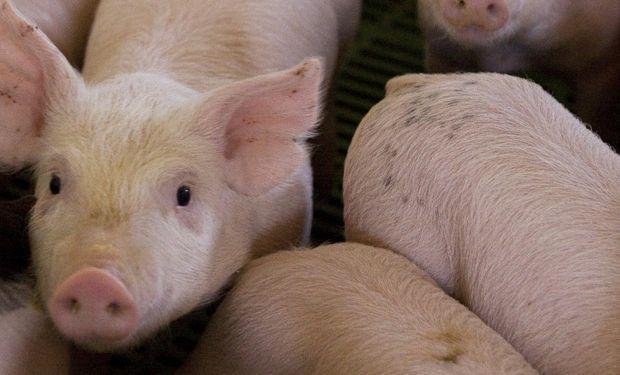 La triquinosis es producida por un parásito conocido como Trichinella spiralis, el cual no da sintomatología en el cerdo.