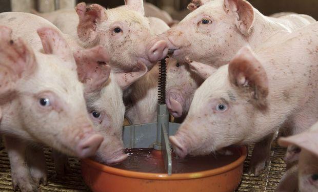Intensifican acciones sanitarias en Chaco tras el hallazgo de seis porcinos positivos a triquinosis.