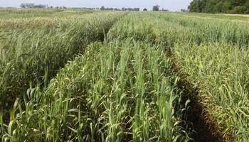 Tres nuevas variedades de un cereal forrajero para climas adversos