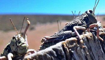 Declaran la emergencia agropecuaria en Chubut por el avance de la tucura