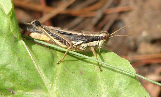 La dispersión de tucuras convertidas en adultas podrían hacer peligrar pastos y cultivos que estuvieren sufriendo estrés hídrico