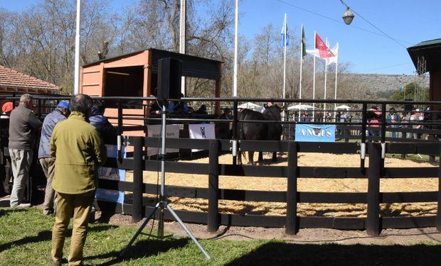 El toro de la raza Angus marcó el valor más alto de todos los animales rematados durante la exposición en Balcarce.