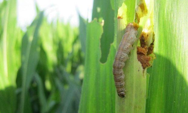 Ataque de Spodoptera frugiperda o Cogollero.