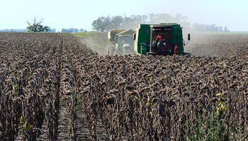 Se remató el primer lote de girasol y proyectan más de 3 millones de toneladas para la campaña