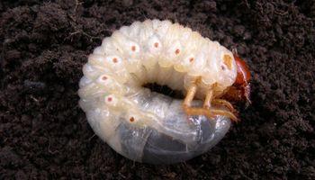 Insectos de suelo: enemigos invisibles de cultivos de invierno