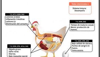 """""""Las micotoxinas afectan la salud de la gallina"""": claves para prevenir una enfermedad económicamente negativa"""